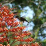 Colibri Jardin de Deshaies