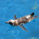 Valencia pingouin
